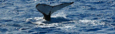 caccia.balene-giappone-rassegna-Orizzontinternazionali